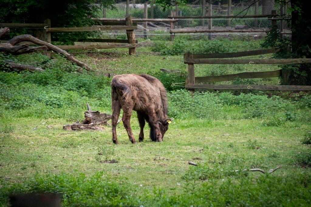 Wildpark Dünnwald - Ein junger Wisent